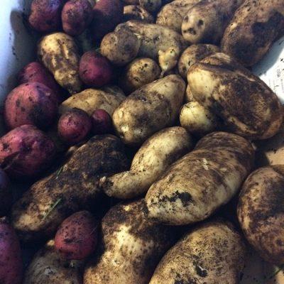 Harvesting Potatoes & Tomatoes