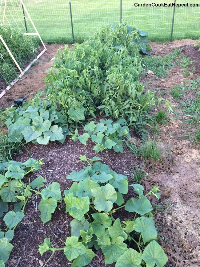 Cucumbers and Rutgers Tomatoes