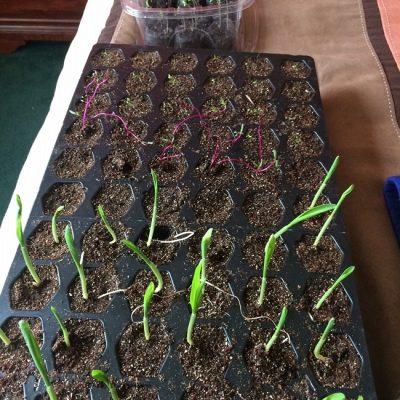 Seedlings Update: 2 Weeks After Planting