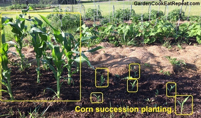 Succession planting with corn