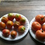 Reddening the Tomatoes