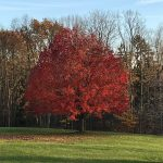 Our Fall Maple Tree