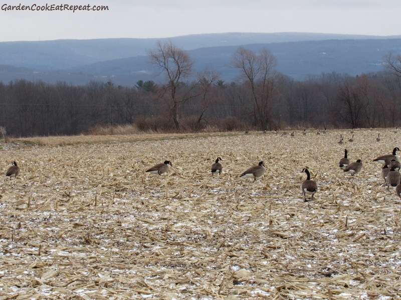 Geese in cornfield