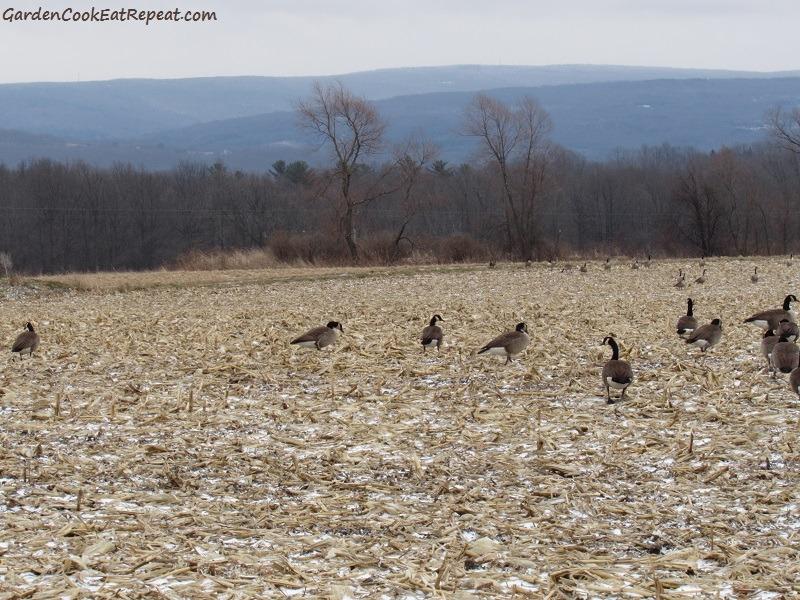 Geese in cornfield