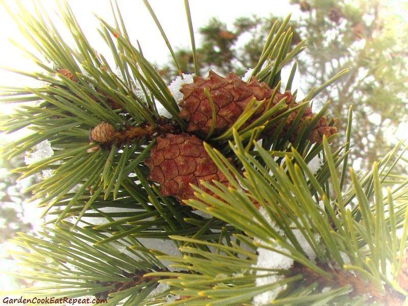 Pretty pine cones