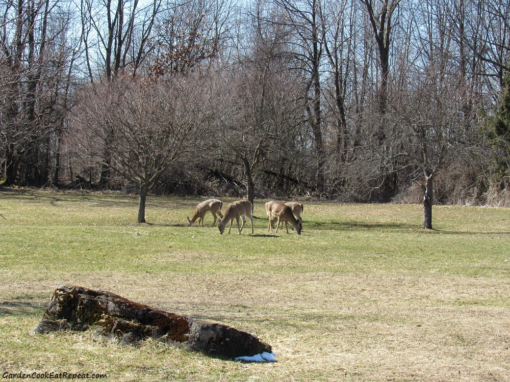 Deer grazing in park