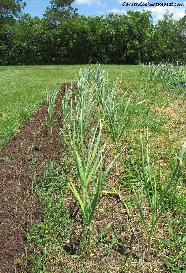 Rows of garlic