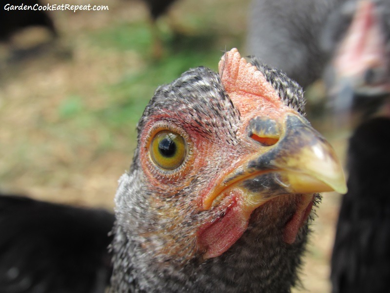 Young Plymouth Barred Rock