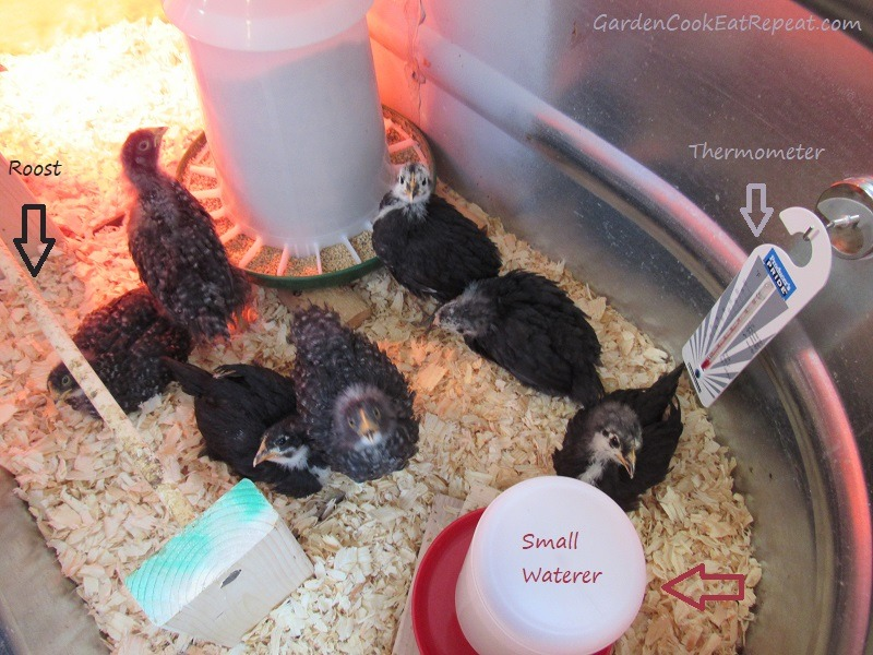 Chick Brooder Scene