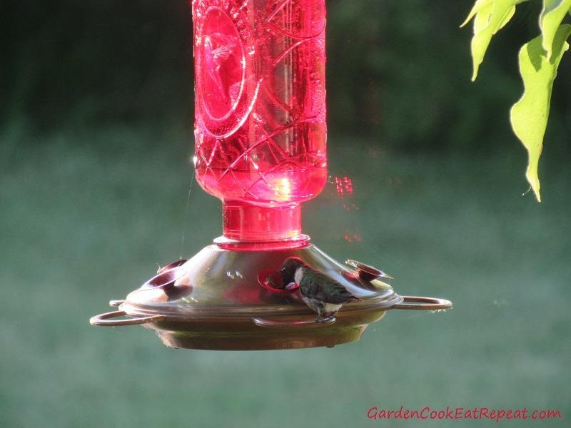 Hummingbird drinking at feeder