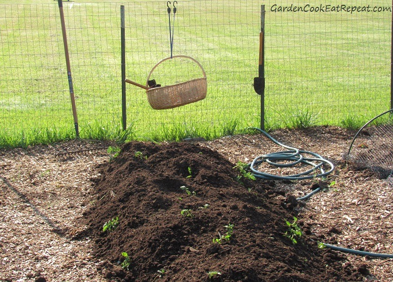 Heaping compost on growing potatoes