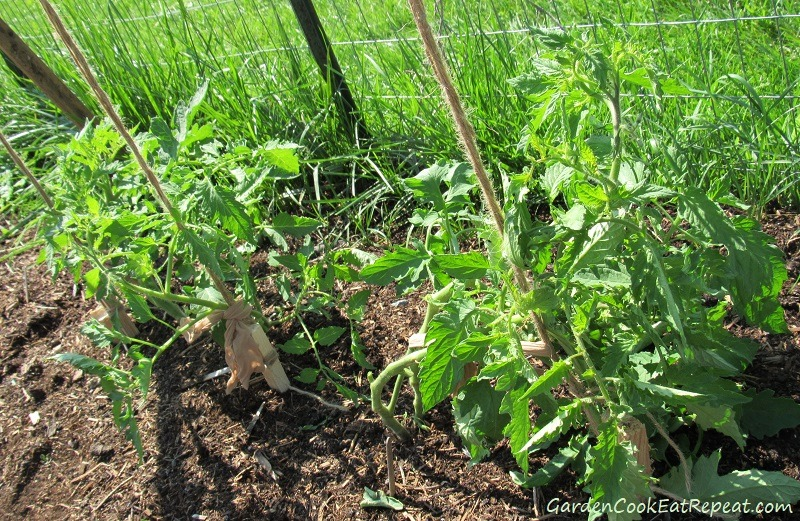 Tomatoes Staked