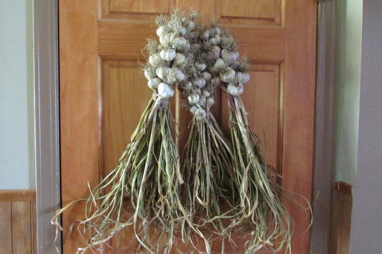 Garlic as decoration