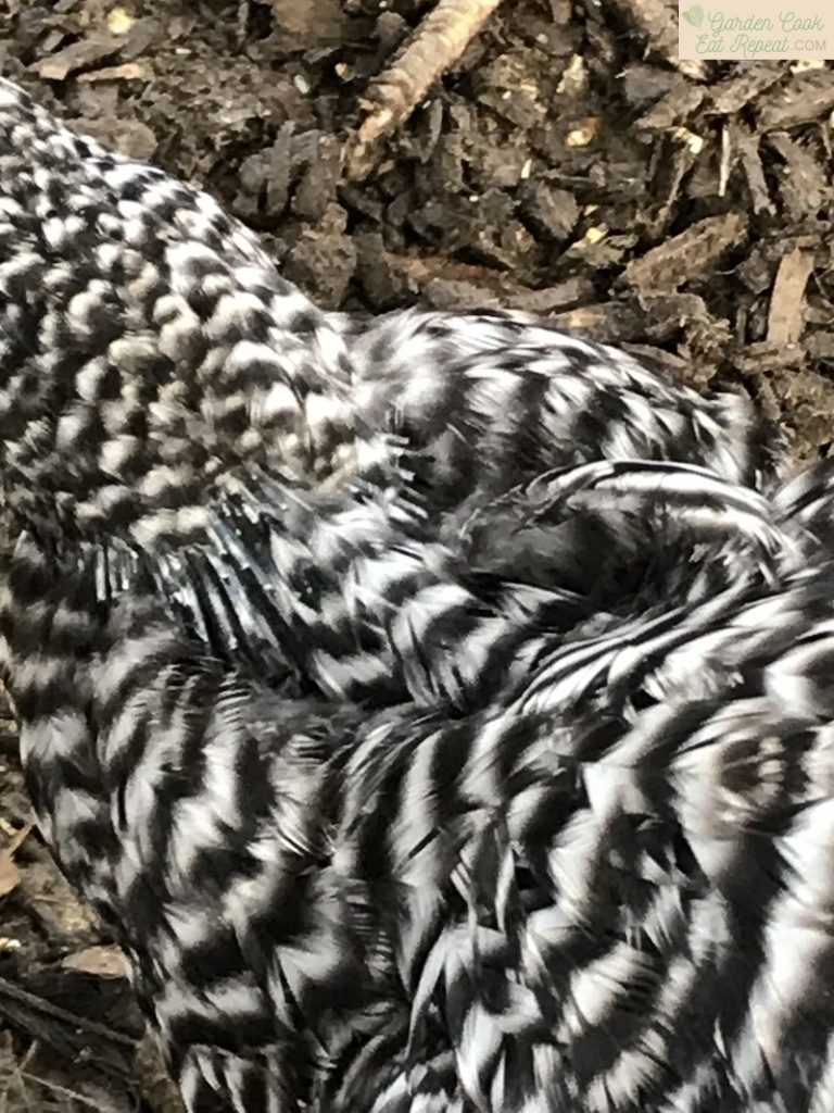 Barred Rock Molting in Winter